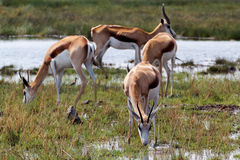 Herd of springbok on waterhole Royalty Free Stock Photography