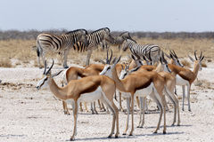 Herd of springbok and zebra in Etosha Royalty Free Stock Images
