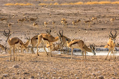 Herd of springboks. Herd of african springboks in the pool in Namibian savannah of Etosha National Park, Namibia Royalty Free Stock Photography