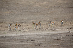 Herd of Springboks Royalty Free Stock Image