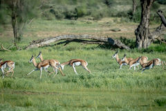 Herd of Springboks running in the grass. Herd of Springboks running in the grass in the Kalagadi Transfrontier Park, South Africa Royalty Free Stock Photos