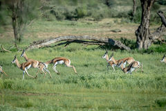Herd of Springboks running in the grass. Herd of Springboks running in the grass in the Kalagadi Transfrontier Park, South Africa Royalty Free Stock Image