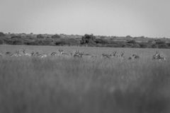 Herd of Springboks standing in the high grass. Herd of Springboks standing in the high grass in black and white in the Central Kalahari, Botswana Stock Photo