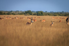 Herd of Springboks standing in the high grass. Herd of Springboks standing in the high grass in the Central Kalahari, Botswana Royalty Free Stock Photos