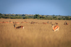 Herd of Springboks standing in the high grass. Herd of Springboks standing in the high grass in the Central Kalahari, Botswana Royalty Free Stock Image