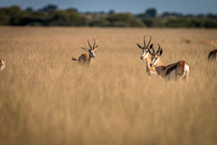 Herd of Springboks standing in the high grass. Herd of Springboks standing in the high grass in the Central Kalahari, Botswana Stock Photography