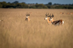 Herd of Springboks standing in the high grass. Herd of Springboks standing in the high grass in the Central Kalahari, Botswana Stock Image