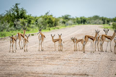 Herd of Springboks standing on the road. Herd of Springboks standing on a gravel road in the Etosha National Park, Namibia Royalty Free Stock Photo