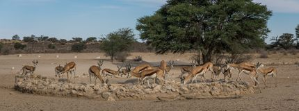 Water anyone? My turn. Herd of Springbuck drinking from waterhole in the Kgalagadi Transfrontier Park Royalty Free Stock Image