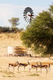 Herd of springbuck standing near waterhole Royalty Free Stock Images