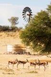 Herd of springbuck standing near waterhole. And windpump Royalty Free Stock Images