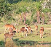 Herd of Sri Lankan axis deer, Axis axis ceylonensis stock image