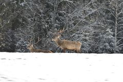 Herd of stag and hart deers watching on the horizont in the snowy white forest in the winter. Snowy forest, wildlife animals, deers stock photos
