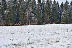 Herd of stag and hart deers watching on the horizont in the snowy white forest in the winter. Snowy forest, wildlife animals, deers stock image