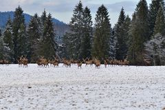 Herd of stag and hart deers watching on the horizont in the snowy white forest in the winter. Snowy forest, wildlife animals, deers stock photography