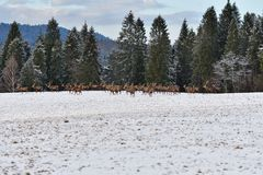 Herd of stag and hart deers watching on the horizont in the snowy white forest in the winter. Snowy forest, wildlife animals, deers royalty free stock photo