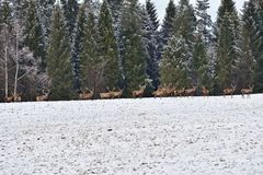 Herd of stag and hart deers watching on the horizont in the snowy white forest in the winter. Snowy forest, wildlife animals, deers stock photo