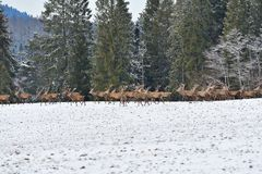 Herd of stag and hart deers watching on the horizont in the snowy white forest in the winter. Snowy forest, wildlife animals, deers royalty free stock photography