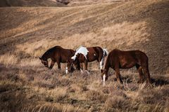Herd of stallions on hillside at sunset Royalty Free Stock Images