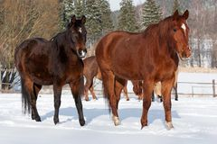 Herd of standing horses Stock Image