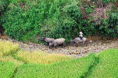 Herd beside a stream, riped rice field, near Tu Le, Mu Cang Chai Stock Photos