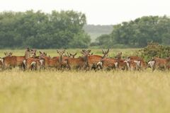 A herd of stunning Sika Deer Cervus nippon feeding in a meadow  at dusk. A herd of beautiful Sika Deer Cervus nippon feeding in a meadow  at dusk Royalty Free Stock Images
