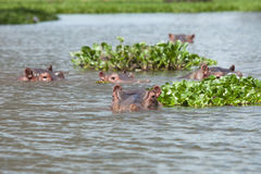 Herd of submerged hippos Stock Photography