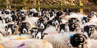 Stock marked sheep in pen Royalty Free Stock Photos