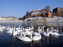 Herd of swams on the visula river in cracow with w Royalty Free Stock Photo