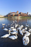 Herd of swans on Vistula river near Wawel Royal Castle, Krakow, Poland Royalty Free Stock Photography