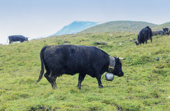 Herd of swiss cows. Herens cows under the snow Royalty Free Stock Photography