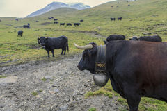 Herd of swiss cows. Herens cows under the snow Stock Image