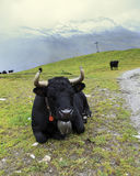 Herd of swiss cows. Herens cows under the snow Stock Photo