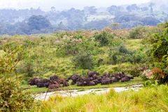 Cape buffalo obstinacy in Ngorongoro Conservation Area Royalty Free Stock Image