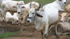 Herd of Thai Cows Grazing on a Dirty Pasture in Asia. Open cow farm field. Thailand. Slow Motion stock video footage