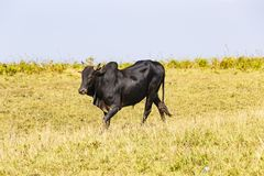 Herd of Thai domestic beef cattle grazing Stock Images