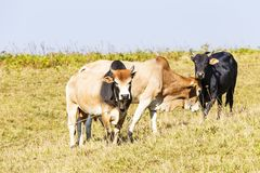 Herd of Thai domestic beef cattle grazing Stock Photos