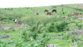 Herd of Thai domestic beef cattle grazing on green pasture stock video footage