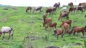 Herd of Thai domestic beef cattle grazing on green pasture stock video