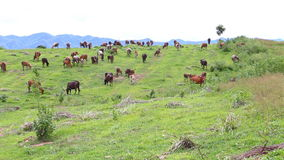 Herd of Thai domestic beef cattle grazing on green pasture stock footage