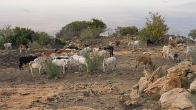 Herd Of Cows Grazing Grass In The African Desert On The Mountain Among The Rocks stock video