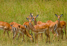 Herd of Thompson Gazelle Royalty Free Stock Photography