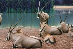 The herd of Thomson Gazellas Eudorcas thomsonii around the green pond, in natural outdoor Zoo, Thailand. royalty free stock photography