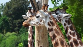The herd of three Rothschild Giraffe stock footage