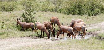 A herd of Topi antelopes drinking water Stock Photos