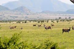 Herd of topis grazing stock images