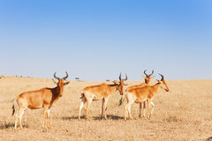 Herd of topis pasturing in Kenyan savannah, Africa Royalty Free Stock Image