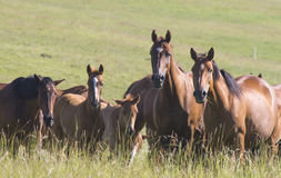 Herd of Trakehner Horses at summer evening Royalty Free Stock Photos