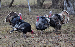 Herd of turkeys in the garden. A small herd of turkeys in the garden in late autumn fallen leaves background Royalty Free Stock Photos