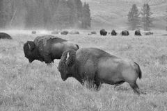 The herd of typical American Bison on the pasture in Grand Teton Stock Images